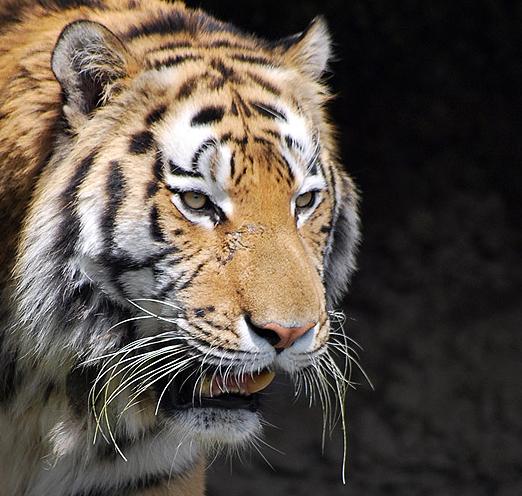 Tiger Elroy