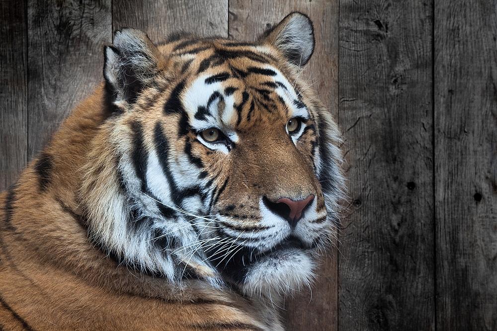 tiger face...