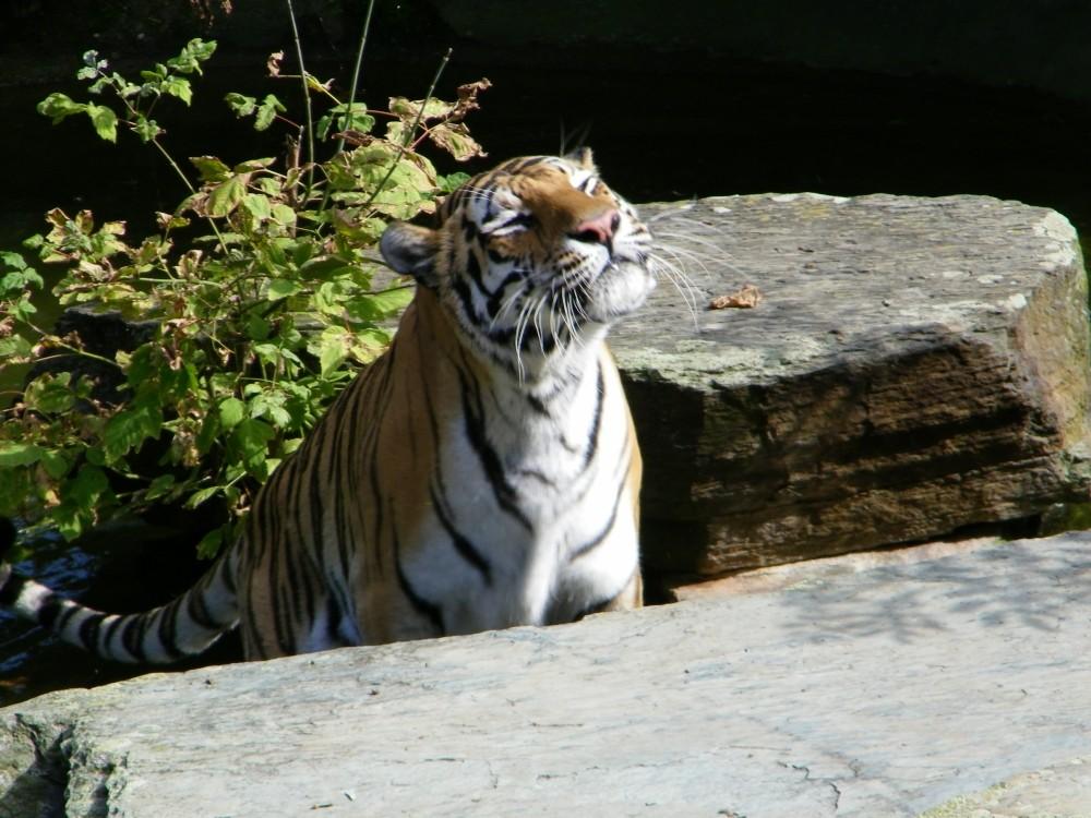 Tiger genießt die Sonne