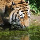 Tiger hat Durst
