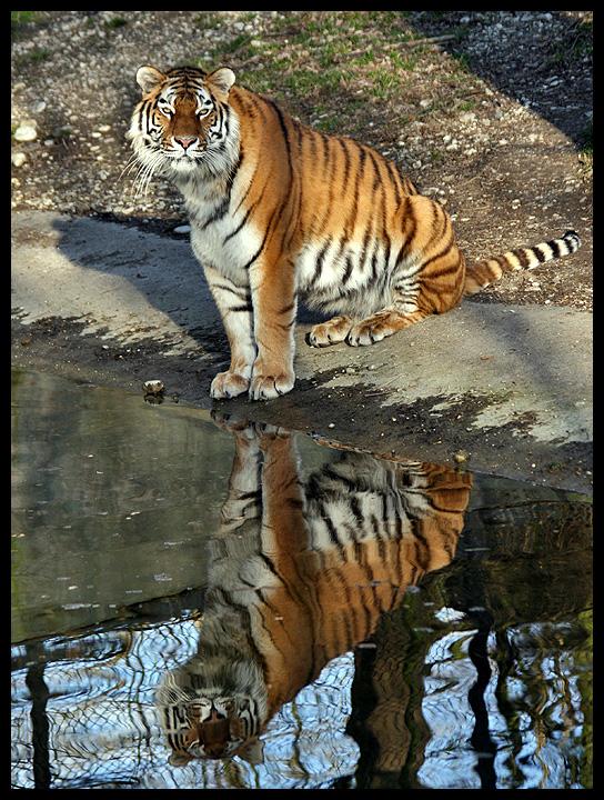 Tiger (I)