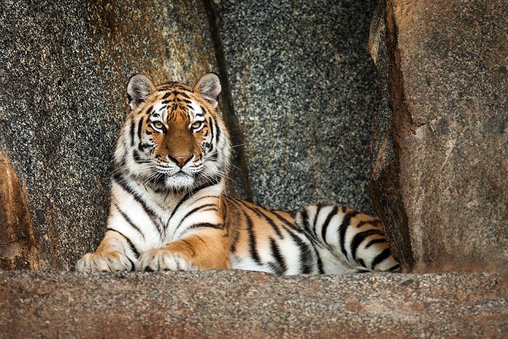 Tiger im Alfred Brehm Haus (drinnen)