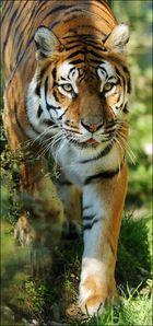Tiger im Anmarsch
