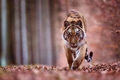 Tiger im Herbst