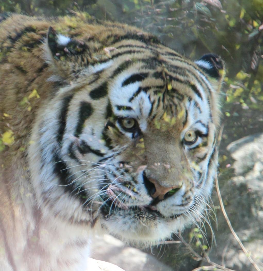Tiger Leipzig