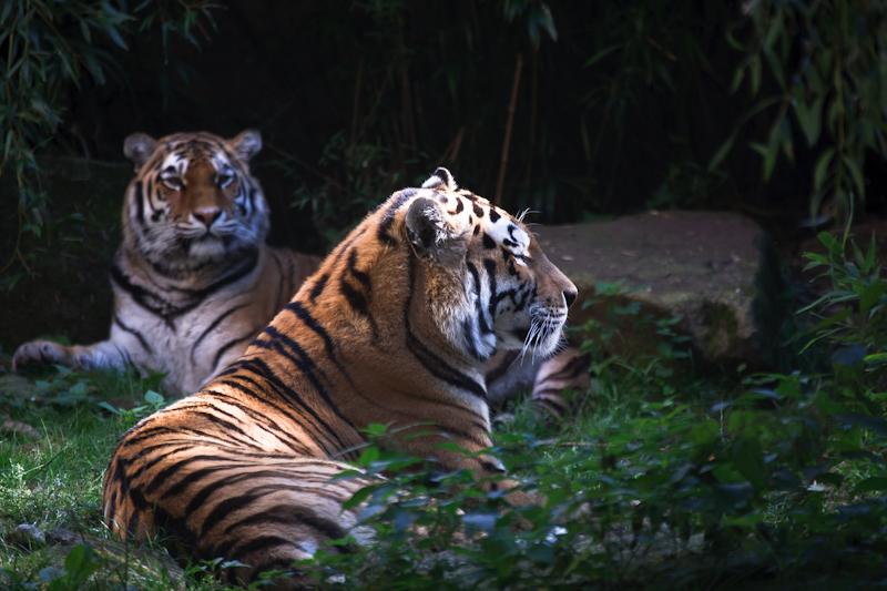 Tiger im Münsteraner Zoo