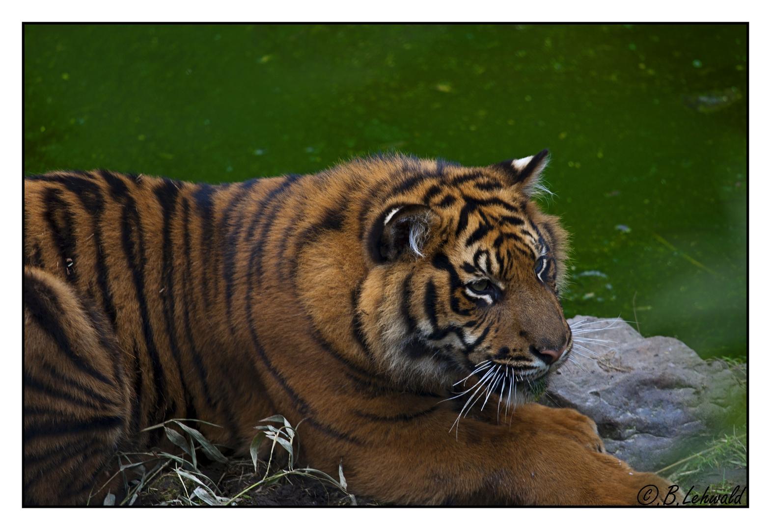 Tiger im Rotterdamer Zoo 2