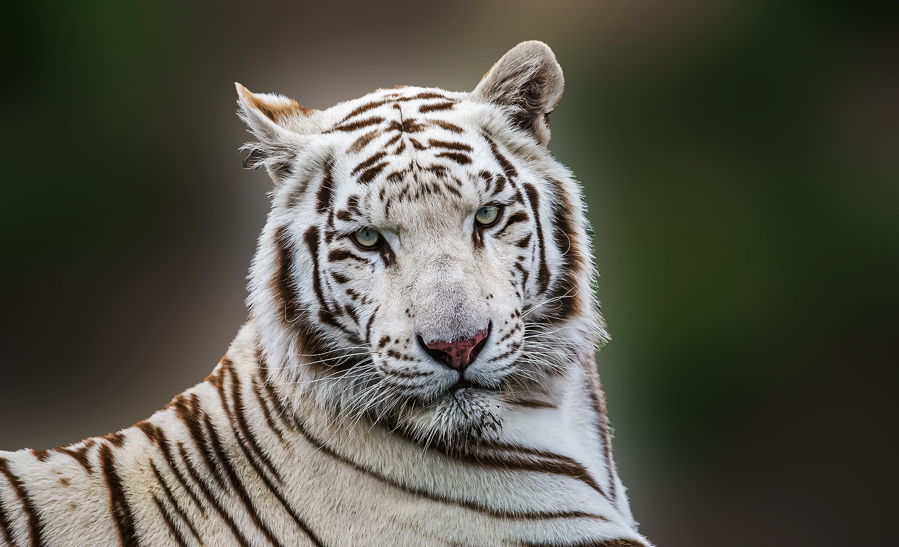 Tiger im Safariland Stuckenbrock