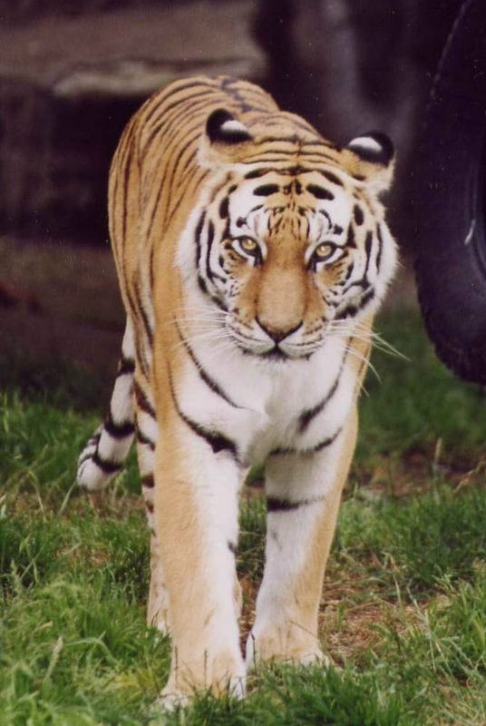 Tiger im San Francisco Zoo