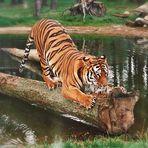 Tiger im Serengeti Park