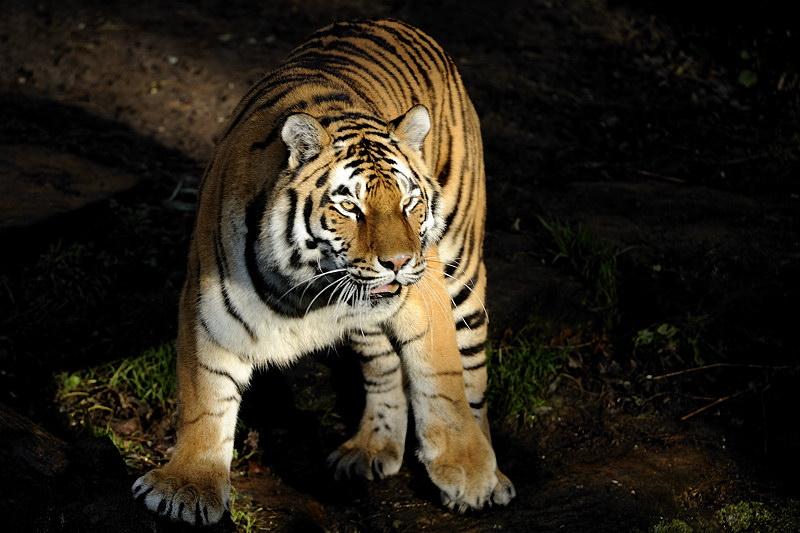 Tiger im Sonnenstrahl