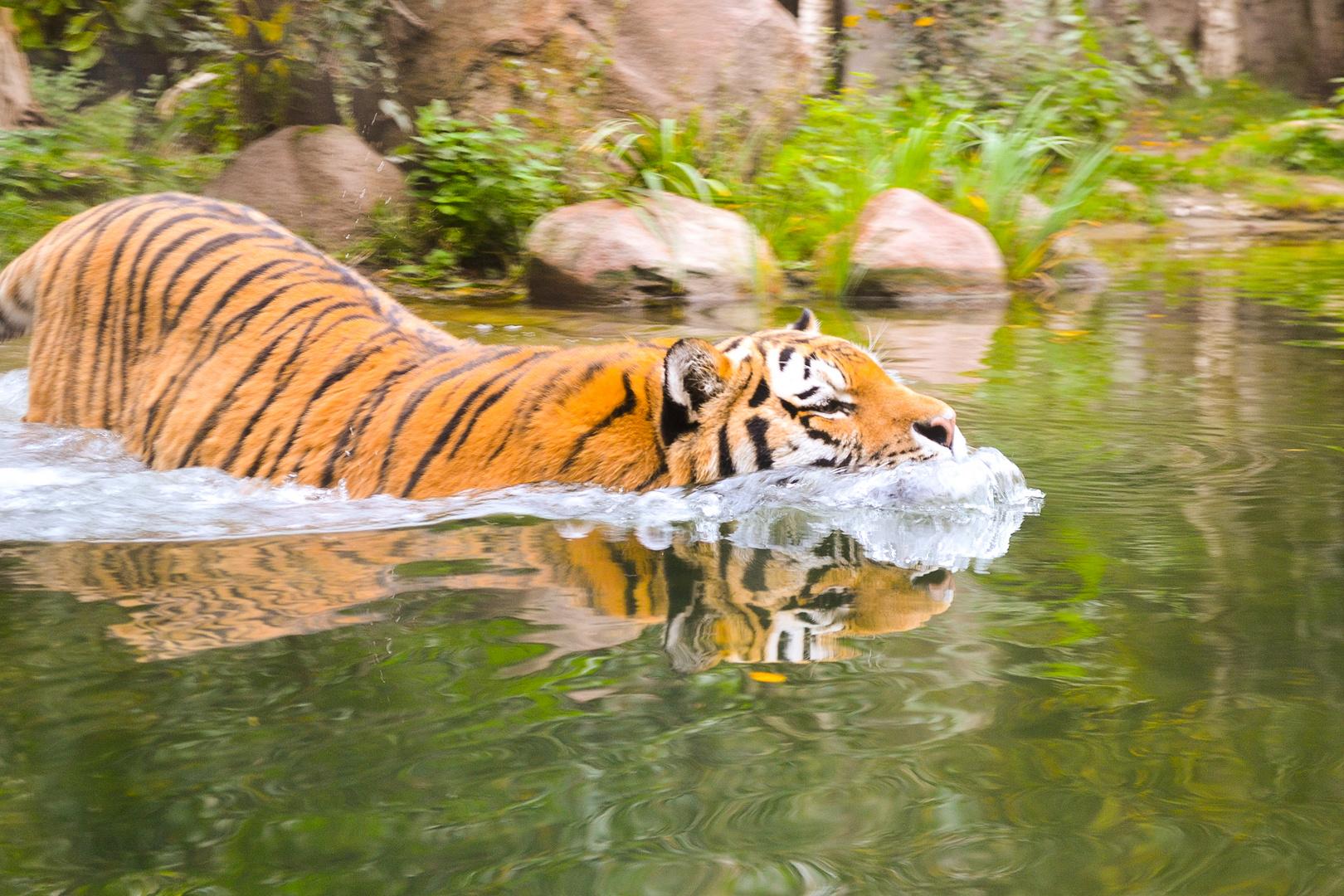 Tiger im Tauchgang