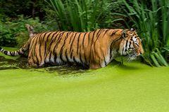 Tiger im Teich