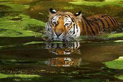 Tiger im Wasser