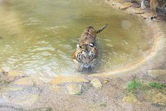 Tiger im Wasser, Amneville Zoo, Frankreich