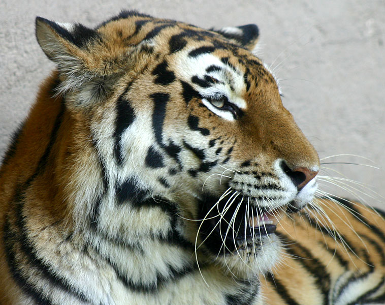 Tiger im Zoo Hannover