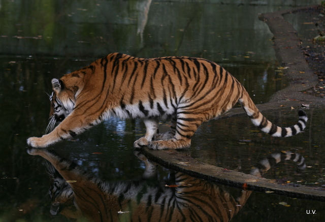 tiger im zoo m nchen foto bild tiere zoo wildpark falknerei s ugetiere bilder auf. Black Bedroom Furniture Sets. Home Design Ideas