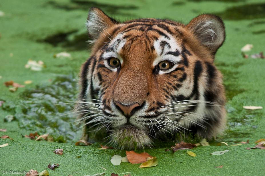 Tiger in der Grütze