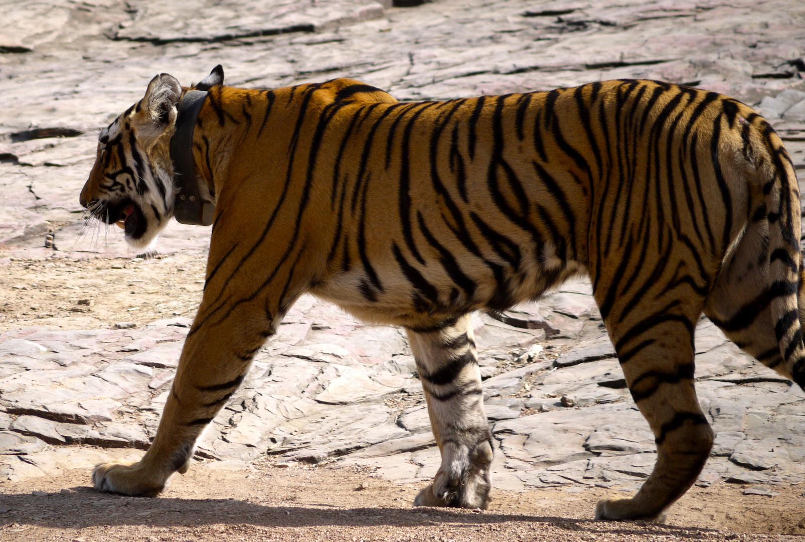 Tiger in freuer Wildbahn