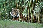 Tiger in Heidelberg