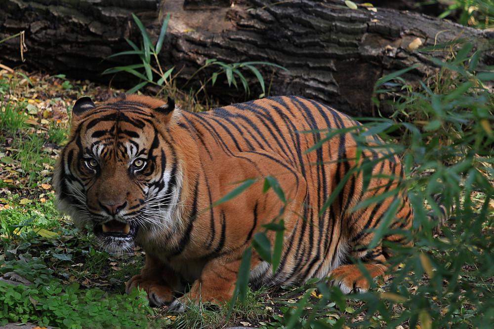 Tiger in Lauerstellung