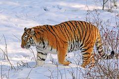 Tiger in seinem Element
