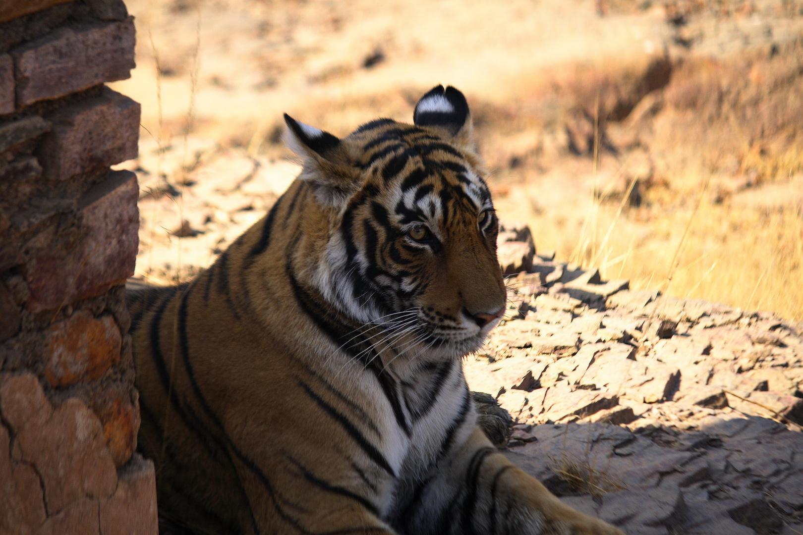 Tiger Indien 2008 in freier Natur