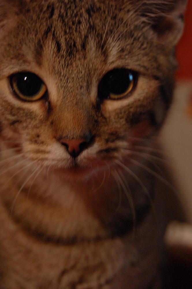Katze Tiger
