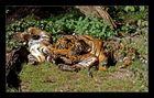 Tiger Kids beim spielen