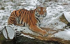 Tiger Kratzbaum
