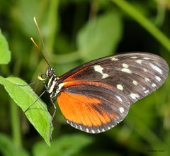 Tiger Longwing Heliconus hecale