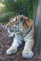 Tiger Mama wartet auf ihre Jungen, ( Tiergarten Schönbrunn)