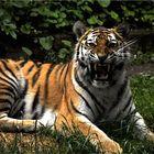 Tiger mit Biss