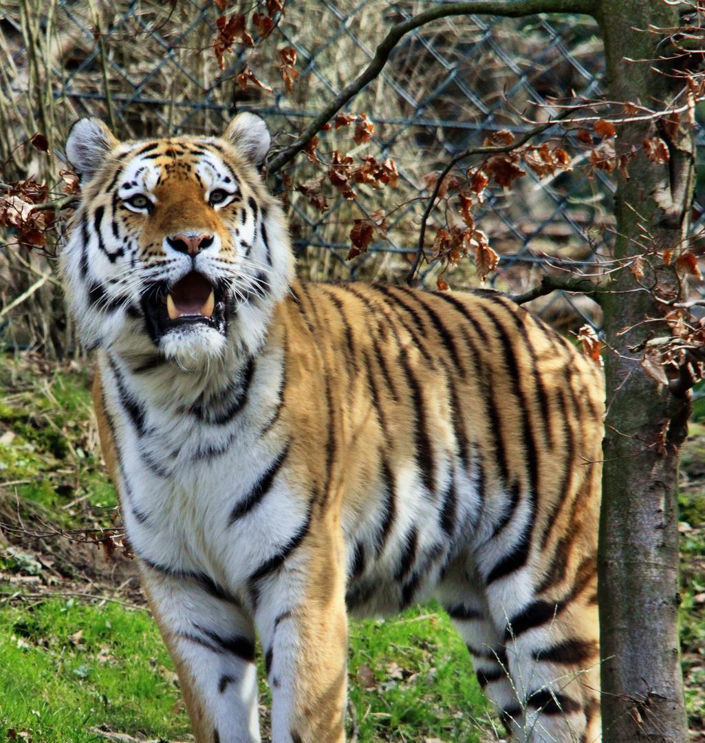Tiger Nr: 2