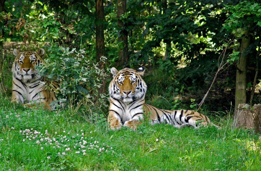 Tiger-Paar