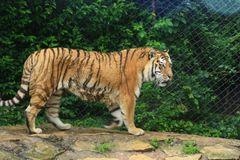Tiger (Panthera tigris), Amneville Zoo, Frankreich
