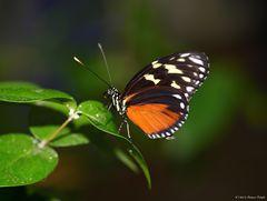 - Tiger-Passionsblumenfalter -