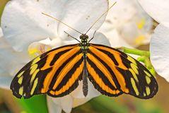 Tiger Passionsblumenfalter (Heliconius hecale)
