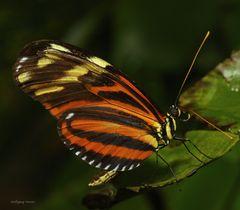 Tiger -Passionsfalter Heliconius ismenius
