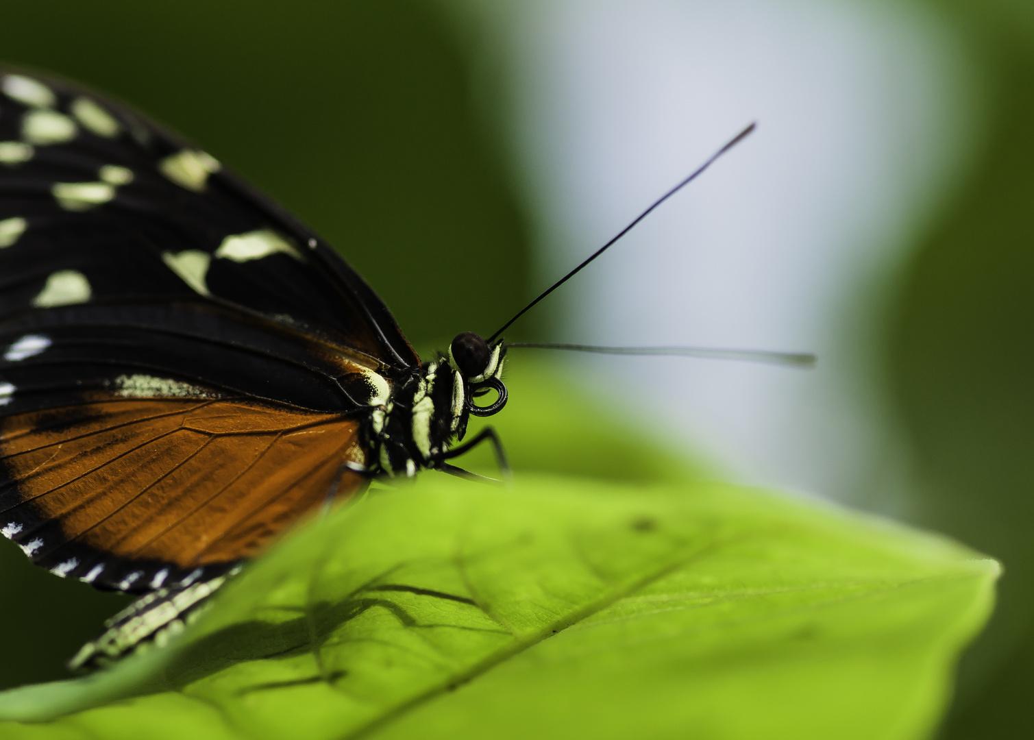 Tiger-Passionsfalter (Heliconius ismenius) - I