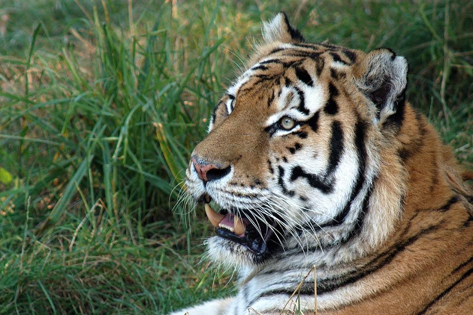 Tiger ( Portrait )
