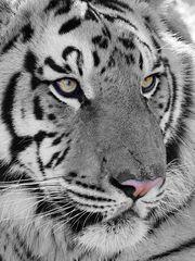 Tiger Portrait Nahaufnahme