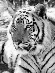 Tiger Portrait sw 4500x6000