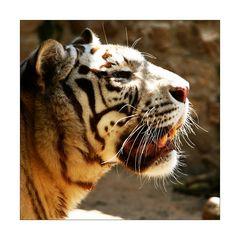 Tiger-Profil
