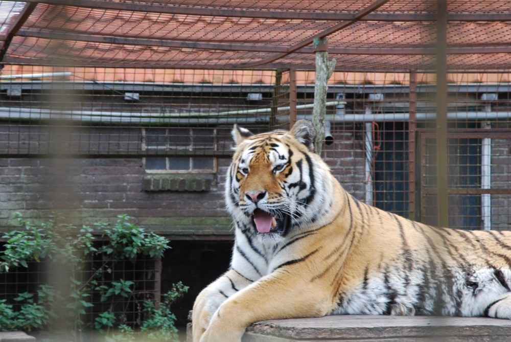 "Tiger ""Rasputin"""