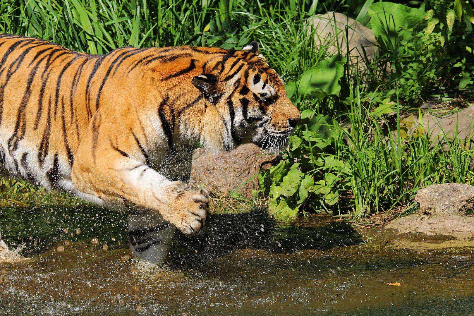 Tiger schlägt ins Wasser