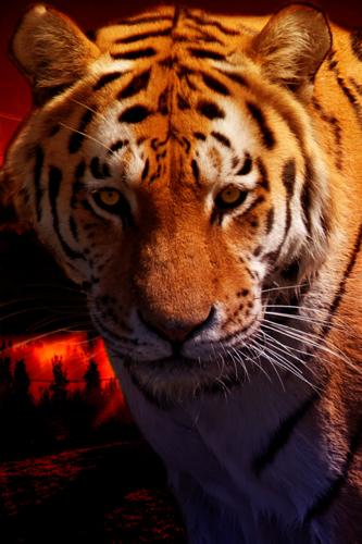 Tiger Sun