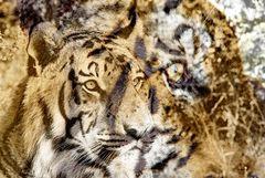 Tiger thula-art