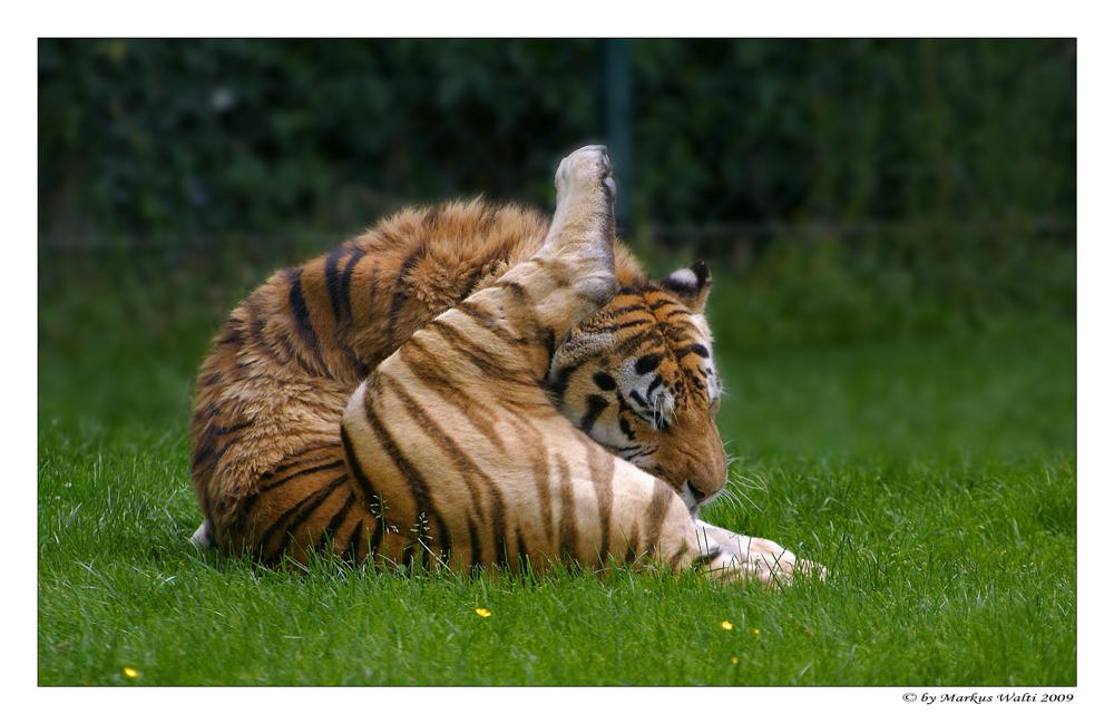 Tiger - Yoga