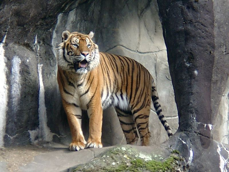 Tiger, Zoo Arnheim